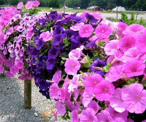Petunias, belleza y colorido en exteriores